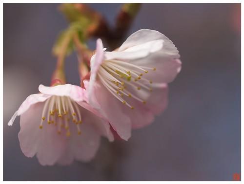 大寒桜 #04