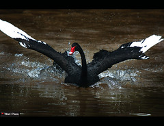 Forced landing! (Fabio Tieri) Tags: black bird nature water birds fly landing forced discovery nationalgeographic gance