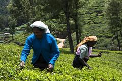 tea picking (Mario_Arias) Tags: tea sri lanka harvesting nuwaraeliya teapicking pedroteaestate