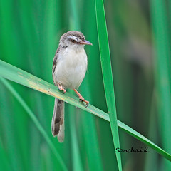 Plain Prinia (somchai@2008) Tags: priniainornata afs plainprinia 400mm