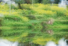 reflection (Mel s away) Tags: china plant flower green water field yellow river mirror soft farm multipleexposure mel dreamy melinda canola wuyuan jiangxi refletion   fild  chanmelmel melindachan