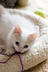 One of Sigmund's nephews (bhermans) Tags: cat kitten innocent nephew sigmund kater ragdoll neef ziggie onschuldig