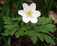 Wood Anemone Plant, University of Kent (Jim_Higham) Tags: wood wild england white flower nature leaves woodland petals kent woods europe university natural wildlife eu canterbury anemone