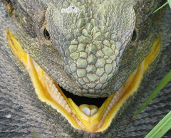 Close-up Beardie (Evan Pickett) Tags: yellow grey dragon teeth australia lizard nsw posture eastern defensive bearded pogona venom bight barbata agamidae squamata pogonabarbata stoud easternbeardeddragon evanpickett