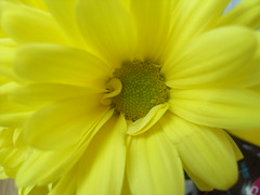 Bright Yellow Flower. (Ceiridwen) Tags: flower yellow spring pretty southend imperfection imperfect