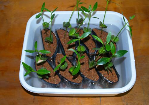Black Mangrove Aquarium Plant : black mangrove seedlings - New Plants for Planted Aquariums - Aquatic ...