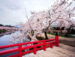Sakura Bridge  (Hirosaki Japan).  Glenn Waters. (Explored)  6,900 visits to this photo. Thank you. (Glenn Waters in Japan.) Tags: bridge castle japan spring nikon aomori   sakura cherryblossoms hirosaki moat thebest    explor 5photosaday explored  d700 nikond700  glennwaters nikkorafs1424mmf28