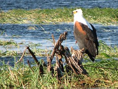 Fish Eagle (biancapreusker) Tags: africa game bird animal eagle wildlife aves safari botswana chobe africanfisheagle haliaeetusvocifer canonpowershots2 thewonderfulworldofbirds