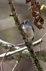 Bear Creek Park - Tufted Titmouse
