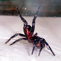 Spider 2 (~Brenda-Starr~) Tags: nature fauna spider native stock australian creativecommons fangs deadly funnelwebspider freeforuse brendastarrstock thestockyard