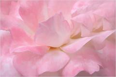 Rose Macro - IMG_7712 (Bahman Farzad) Tags: macro rose closeup buzz upclose rosemacro macrorose closeuprose rosecloseup