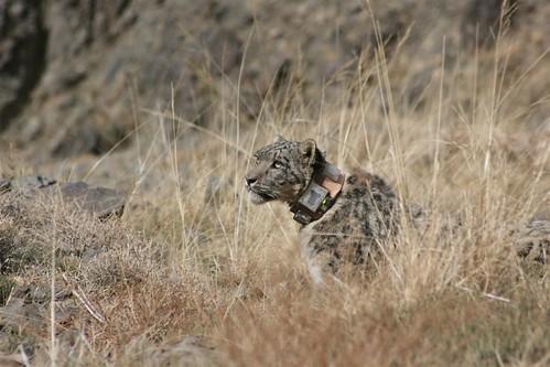 Fourth Snow Leopard Shonkhor Snow Leopard Trust