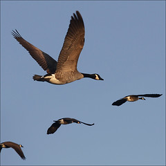 Fly in formation Canada Geese come home (NaPix -- (Time out)) Tags: blue sky lake canada nature birds sunrise canon skyscape freedom geese wings quebec action wildlife south flock north flight goose formation explore traveling top10 topten migrating borntobewild uplift flyawayhome explored explorefrontpage exploretopten flyinginavformation canonef70200mmf4lisusm avianphotography napix canonxsi mexicocanadamigration uscanadamigration brandacanadensis