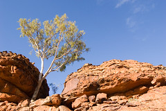 Kings Canyon Tree (kwm00re) Tags: flora australia roadtrip outback kingscanyon northernterritory 1855mmf3556