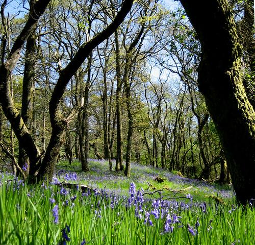 Mugdock bluebell wood