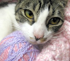 Missy, is a young brown tabby cat with white, and very well behaved little girl (Pixel Packing Mama) Tags: catsandkittensset heartlandhumanesociety pixelpackingmama dorothydelinaporter montanathecat~fanclub montanathecat~fanclubpool ceruleanthecat~fanclub closerandclosermacrophotographypool ceruleanthecat~fanclubpool tabbycatsset macrocloseupshotspool focusontheheadpool catcloseupspool catfacespool browntabbieswhitepawspool allthingsmacropool canonpowershota720isiistart112508set canonallcanoniistart112508set thecorvallisoregonyearsiistarting112508set catmacropool uploadedfirsthalfof2009set thecorvallisoregonyearspart7set pixelpackingmama~prayforkyronhorman oversixmillionaggregateviews over430000photostreamviews