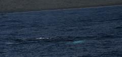 Pacific Whale Watch - Lahaina -13 (earth_princess) Tags: maui whalewatch fluke breach