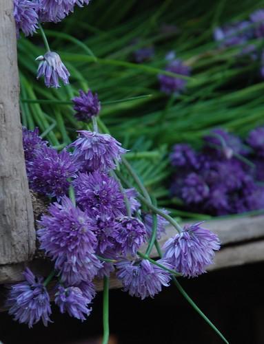 garlic chive flowers