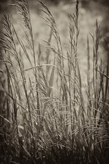 Grass in the wind (154 of 365) (rimblas) Tags: grass nik 365 2009 timeless project365 365project