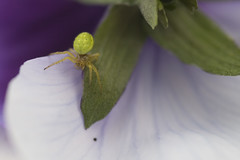 Tiny spider. (Tess_) Tags: white macro green norway tag3 taggedout spider eyes tag2 tag1 tess