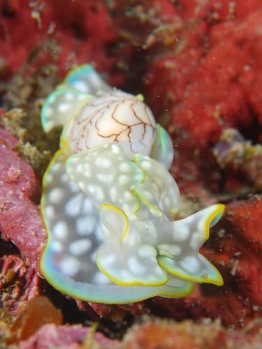 有翅膀又帶背包的透明斑點海蛞蝓(3)