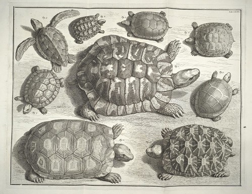 turtle or tortoise species engravings