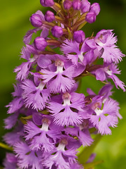 Platanthera psycodes (small purple fringed orchid) (jimf_29605) Tags: orchids northcarolina wildflowers blueridgeparkway mtmitchell e510 sigma105mm nativeorchids purplefringedorchid