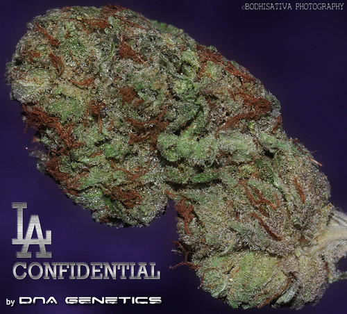 © BodhiSativa Photography - - LA Confidential from DNA Genetics