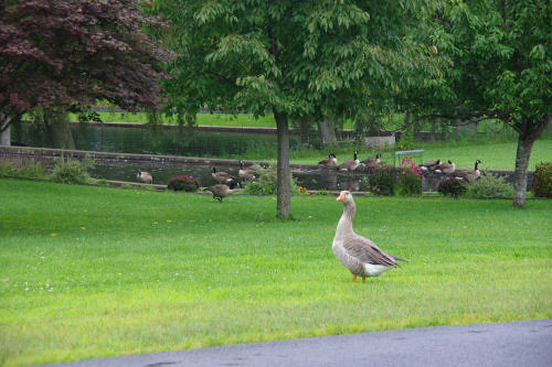 Upstate duck