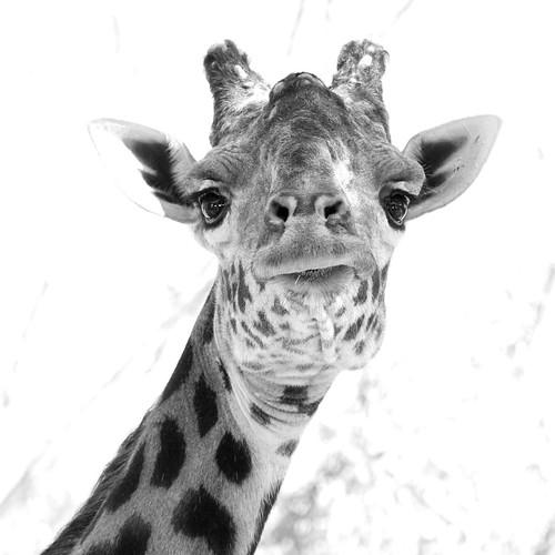 giraffe by Marcin Wichary