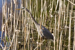 "Blue heron in reeds • <a style=""font-size:0.8em;"" href=""http://www.flickr.com/photos/30765416@N06/4568646361/"" target=""_blank"">View on Flickr</a>"