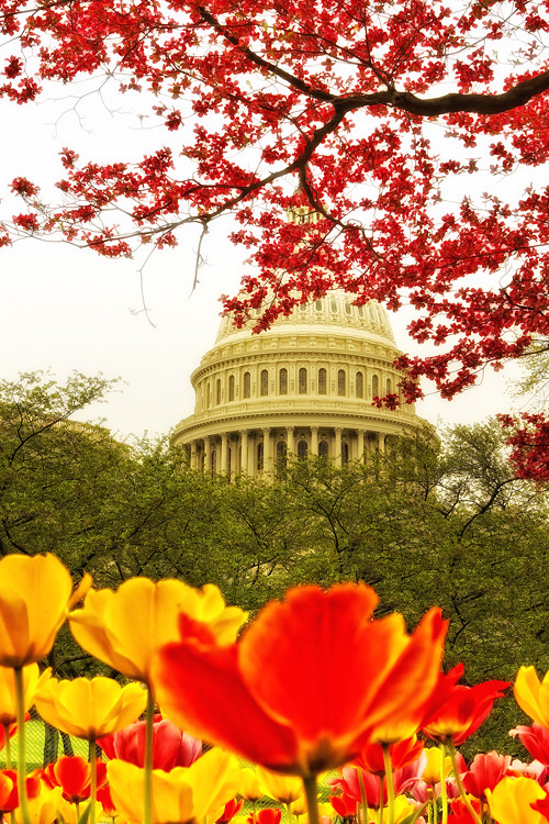 US Capitol with cherry blossom and tulips