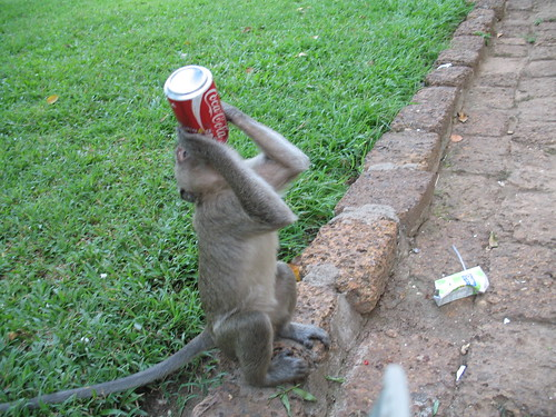 Monkey Coke fiend
