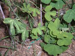 Affinis2 (jayme_blaschke) Tags: passiflora