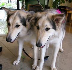 双子の2匹の犬