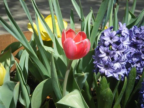 Tulips & Such