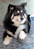 what the heck..........is mum up to now?! (10/52) (sure2talk) Tags: quizzical whattheheck 1052 50mmf18 taivas finnishlapphund nikond60 pfogold pfosilver beautifulworldchallenges 52weeksfordogs we14309