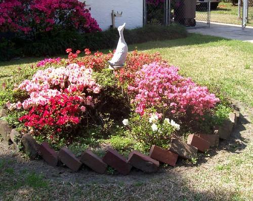 Duck with azaleas
