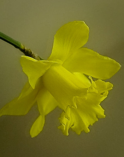 Flowers of Spring - daffodil