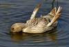 Have a nice weekend :) (tropicaLiving - Jessy Eykendorp) Tags: bali water indonesia geotagged duck ripple bebek haveaniceweekend panasoniclumixdmcfz8 tropicaliving vosplusbellesphotos jessyce geo:lon=115157318 geo:lat=8817225 kambinglu