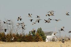 One more crane shot (jc-pics) Tags: birds nikon nebraska crane wildlife d200 migration 70300mmvr