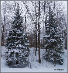 Twin trees / Arbres jumeaux (rariflora) Tags: trees winter snow nature norway forest norge vinter hiver arbres skog gran neige porsgrunn telemark distillery spruce fort sapin sn jarseng potofgold norvge theunforgettablepictures