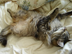 Snorgle position (Alaidh...PLEASE CHANGE IT BACK!!!) Tags: cute cat heidi tabby kitty fluffy cuddly mainecoon vokra