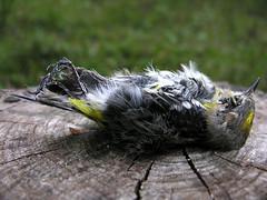 BONELUST - Dead Yellow-rumped Warbler 1
