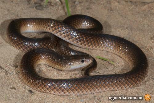 Carpentaria snake (Cryptophis boschmai)