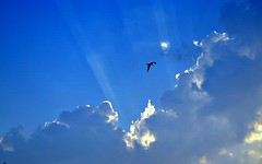 Kite (Bird) By: Deepak L Avhad (funk_so_bravo) Tags: kite bird by deepak l avhad