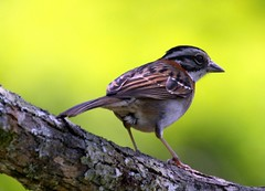 Tico-tico - Crown Sparrow - Zonotrichia capensis (claudio.marcio2) Tags: bird nature wildlife natureza pssaro aves birdwatching soe breathtaking oiseaux birdwatcher wonderfulnature naturesfinest blueribbonwinner supershot birdsbirdsbirds mywinners shieldofexcellence avianphotography anawesomeshot impressedbeauty avianexcellence excellenceinavianphotography photosandcalendar citritgroup eperkeaward naturewatcher theworldsbestnaturewildlifeandmacrophotography betterthangood everydayissunday goldstaraward atravsdaminhalentethroughmylens salveanatureza allthosebirds screamofthephotographer worldnaturewildlifecloseup photographersgonewild vosplusbellesphotos thewonderfulworldofbirds naturegreenstar ~newenvyofflickr~ dragonflyawardsgroup