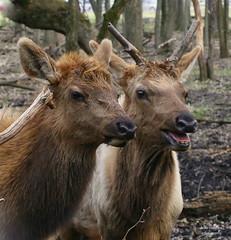 Elks (lynne_b) Tags: park nature animal forest illinois couple forestpreserve creature preserve elks elkgrovevillage