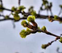 sprouting oak tree (Hindrik S) Tags: tree green nature garden leaf spring oak dof bokeh sony boom beam blad eik a300 otw iik sonyalpha flickraward α300 alpha300 sonyphotographing blêd
