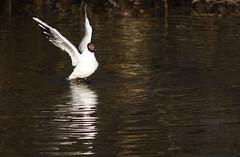 bathing in the river (mkefjr) Tags: birds norway akerselva blackheadedgull hettemke